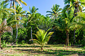 Tropical beach with young coconut palm tree in south Bahia, Ilha de Boipeba, Brazil