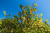 Orange fruit hanging from tree against clear blue sky in cerrado of Serra do Cipo National Park, Minas Gerais, Brazil