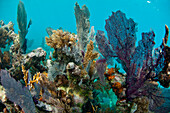 Underwater life, including hard corals, soft corals, fans, and small fish cover sections of Glover's Reef, Belize.