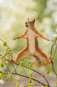 Front view of red squirrel balancing between two tree branches, Jamtland, Sweden