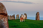 Evening mood and grazing cows on the ship Ales Stenar near Ystad, Skane, Southern Sweden, Sweden
