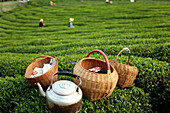 Baskets and kettle near workers harvesting tea in field