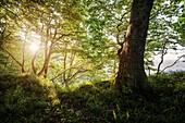 """UNESCO Welterbe """"Alte Buchenwälder Deutschlands"""" im Gegenlicht, Jasmund Nationalpark, Insel Rügen, Mecklenburg-Vorpommern, Deutschland, Ostsee"""