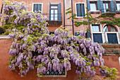 wisteria, climbing plant, facade with windows, Venezia, Venice, UNESCO World Heritage Site, Veneto, Italy, Europe