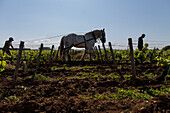 organic grapevines of sancerre, farming with horses, (18) cher, centre - loire valley, france