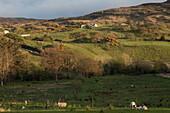 irish countryside, sheep farm, ardara, county donegal, ireland