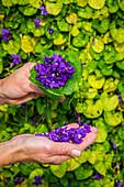 the bastide aux violettes, living museum of the violet, tourrettes sur loup, alpes-maritimes, provence-alpes-cote d'azur (06), france