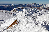 a belgian malinois searching for victims, reporting on avalanche dog handlers, training organized by the anena with the approval of the civil security department, les-2-alpes (38), france