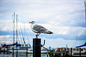 Möwe, Hafen, Schilksee, Schleswig Holstein, Deutschland