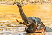 Tusked elephant taking a bath, Yala National Park, Southern Province, Sri Lanka