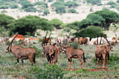 East African oryx (Oryx beisa) passing by a cattle herd illegally grazing in the Tsavo West National Park, Kenya, East Africa, Africa