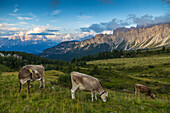 View of landscape and cattle from Marmolada Pass at sunset, South Tyrol, Italian Dolomites, Italy, Europe