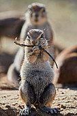 Cape ground squirrel (Xerus inauris) eating, Kgalagadi Transfrontier Park, South Africa, Africa