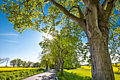 Alley and rape field near Lohme, Jasmund, Ruegen Island, Mecklenburg-Western Pomerania, Germany