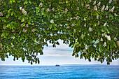 Chestnut tree on promenade, Sassnitz, Jasmund, Ruegen Island, Mecklenburg-Western Pomerania, Germany