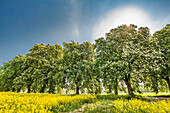 Rapeseed field and chestnut alley, Lancken-Granitz, Ruegen Island, Mecklenburg-Western Pomerania, Germany