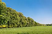 Chestnut alley, Lancken-Granitz, Ruegen Island, Mecklenburg-Western Pomerania, Germany