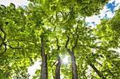 Baum im Gegenlicht, Schlosspark, Puttbus, Rügen, Mecklenburg-Vorpommern, Deutschland