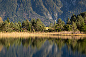 Schilf am Ufer des Luttensees, bei Mittenwald, Werdenfelser Land, Bayern, Deutschland