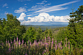 Willow herb (epilobium), view from Lusen summit to thunderclouds over the Bavarian Forest, Bavaria, Germany