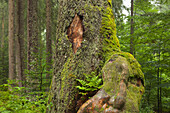 Fern at the roots of a maple, hiking path to Grosser Falkenstein, Bavarian Forest, Bavaria, Germany