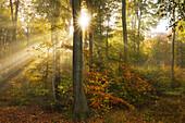 Morning mist in the woods at Laacher Kopf, near Maria Laach, Eifel, Rhineland-Palatinate, Germany