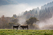 Cattle grazing in morning mist, near Lind, Eifel, Rhineland-Palatinate, Germany