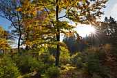Forest in autumn, near Olsberg, Rothaarsteig hiking trail, Rothaar mountains, Sauerland, North Rhine-Westphalia, Germany