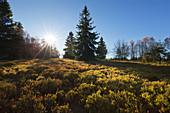 Hochheide, heathland near Niedersfeld, Rothaarsteig hiking trail, Rothaar mountains, Sauerland, North Rhine-Westphalia, Germany
