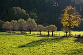 Willows, near Schmallenberg, Rothaar mountains, Sauerland, North Rhine-Westphalia, Germany