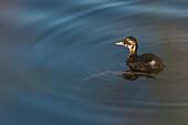 Ducks, bird, ducklings in the sunlight on the lake, pond landscape, Linum, Linumer Bruch, Brandenburg, Germany