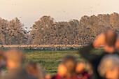 Vogelbeobachtung, Touristen, Zugvögel Observation, Graugänse und Kraniche, Vogelbeobachtung bei Sonnenuntergang, Massenstart, Herbst, Linum, Linumer Bruch, Brandenburg, Deutschland