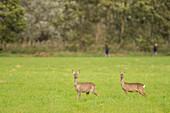 Deer, Fawn, Camouflage, Wild, Deer, Watching, Wildlife, Hide, Arable, Linum, Linumer Bruch, Brandenburg, Germany