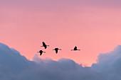 Vogelzug vor Wolkenformation, Kranichwanderung, Vögel des Glücks, Kraniche am Abendhimmel, Sonnenuntergang, Abendsonne, Vögel, Flugstudie, Vogel Silhouette, Linum, Linumer Bruch, Brandenburg, Deutschland