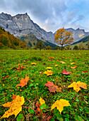 colorful maple leaves in autumn colors, region Ahornboden, Tirol, Austria