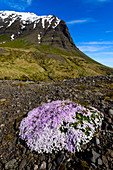 flourish campion at the bottom of the peaks, eastfjords, Iceland