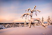 snow-covered tree on a hill in the Pyhä-Luosto National park, finnish Lappland