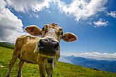 Kuh auf der Weide, Monte Baldo, Gardasee, Trentino, Italien