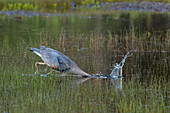 hunting gray heron, Jackson Lake, Wyoming, USA