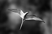 black and white image of an arctic tern in flight at the south coast of iceland