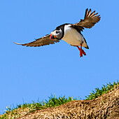 Puffin in flight, Eastfjords, Iceland
