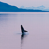 Humpback whale in the midnight sun, Inside Passage, south of Juneau, Alaska, USA