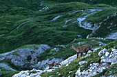 Mountain panorama, Allgäu, rock landscape, rock face, summit, hiker, Capricorn, ibex, ibex family, Kemptner Hause, long distance hiking trail, mountain landscape, summit, hiking holiday, nature, Mountain tour, summit, moonshine, hiking trails, Allgäu, Alp