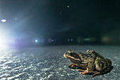 Harz, Saxony-Anhalt, nature, nature reserve, frog, frog walk, road, traffic, road traffic, night walk, pines, forest, amphibians, protection of species, Germany