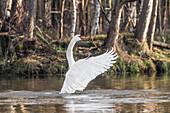 Spreewald Biosphere Reserve, Brandenburg, Germany, Water Hiking, Kayaking, Recreation Area, Wilderness, River Landscape, Swan spreading its wings, Mute Swan, Swans, Birds
