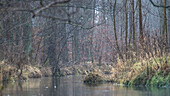 Spreewald Biosphere Reserve, Brandenburg, Germany, Kayaking, Recreation Area, Wilderness, River Landscape and beech grove at dawn, Deciduous forest, Deciduous trees
