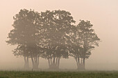 Spreewald biosphere reserve, Brandenburg, Germany, wilderness, excursion, meadow and trees in the morning fog at sunrise, dawn, wild meadow