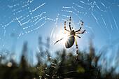 Spreewald Biosphere Reserve, Germany, recreational area, wilderness, spider, spider web, zebra spider, wasp spider