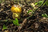 Spreewald biosphere reserve, Germany, forest, deciduous forest, wilderness, boletus mushroom, edible mushroom, noble mushroom, mushroom picking
