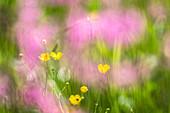Germany, Bavaria, Alps, Oberallgaeu, Oberstdorf, Summer landscape with flower meadow, Summer holidays, Flowers, Biodiversity